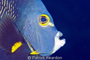 French Angelfish Portrait. by Patrick Reardon 